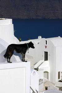 Santorini Dogs 1