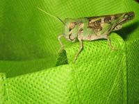 Locust at my home 1