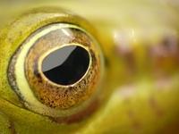 Frog eye 1