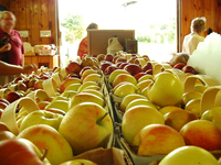 Fruit Market with Apples
