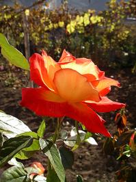 Rose in autumgarden 1
