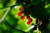 Redcurrant on a bush