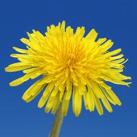 dandelion metamorphosis