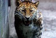 Tiger dee Doo