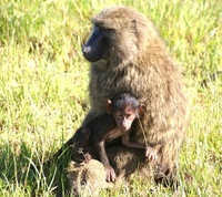 baboon mum 3