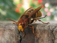 Dangerous wasp