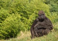 Gorilla Wildlife 4