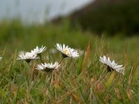 Azores Flowers II