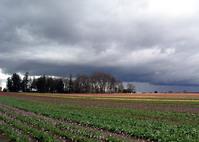 Tulip Farm 1
