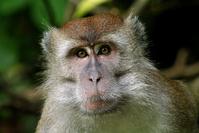 Makak Monkey