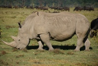 rhino portrait 4