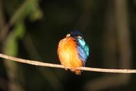 blue eared kingfisher