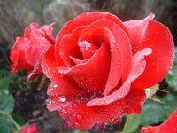wet flowers 2