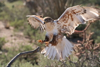 Landing Hawk