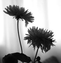 Flower siluette