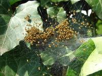 spider babys 2