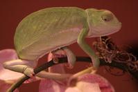 Chameleon on orchid 5