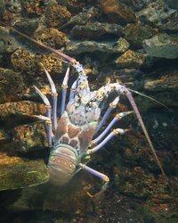 Lobster Large