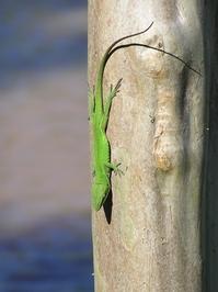 Geckos in Texas