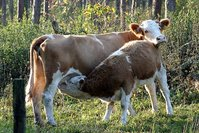 Animals,Cow