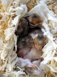 Blind baby hamsters