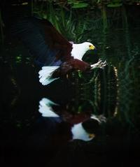 Fish Eagle Hunting 4