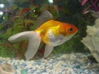 Goldfishyish