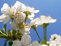 cherries aborning