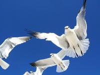 Seagulls 7