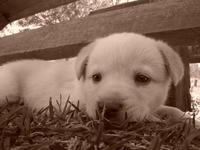 puppy sepia 1