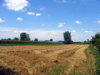 wheat field in july