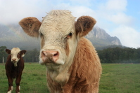 Cows in Tasmania, Australia