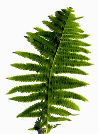 Ferns 4