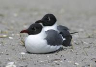 Atlantic City Seagulls 6