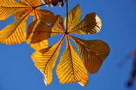 Autunm leaves, chestnut