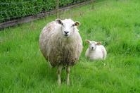 sheep and lam