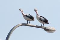 Long beaks 1