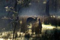 Kangaroo family feeding