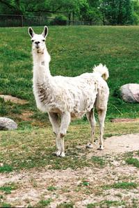 Llama Face! 2