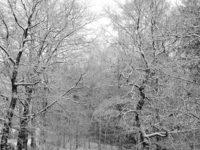 Snowy trees1