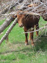 Longhorn Cattle 3