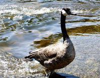 Canadian Goose 2