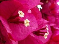 SF: Pink Flowers 03