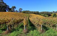 Autumn Vines 1