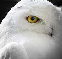 Snow Owl - Eye