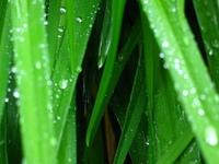 Fairy Dew