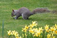 Squirrel burying