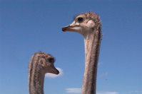 African Ostrich 3