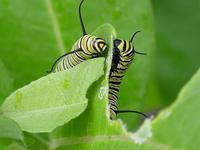 monarch_larva