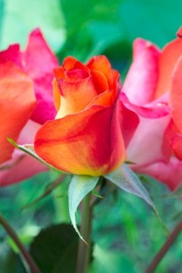 Sun Burst Rose